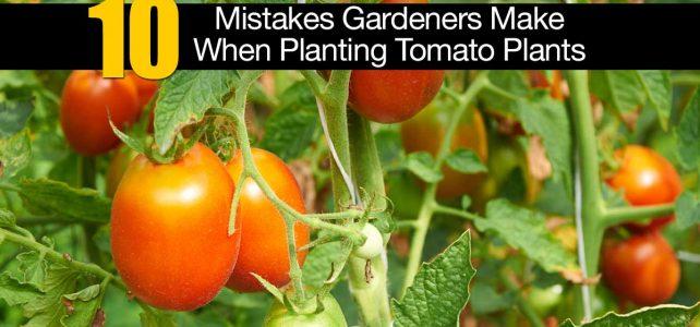 Comment réussir ses plantes de tomate?
